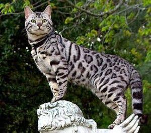 silver bengali cat
