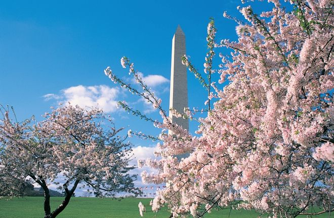 One of the best times of the year to visit Washington DC is during cherry blossom season...for obvious reasons! For more family travel tips on the city, check out our travel story at http://www.suitcasesandstrollers.com/interviews/view/travel-usa-with-kids-washington-dc-insider?l=all #GoogleUs #suitcasesandstrollers #travel #travelwithkids #familytravel #familytraveltips #traveltips #cherryblossoms #sakura #spring #prettyinpink #blooms #blushingpink