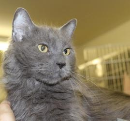 Gia is an adoptable Domestic Long Hair-Gray Cat in Blackwood, NJ. Gia was an owner surrender on 3/1/12. She is a long haired petite grey kitty that is about 3 years old. She is a very beautiful girl t...