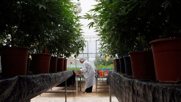 Studying Marijuana and Its Loftier Purpose - SAFED, Israel — Among the rows of plants growing at a government-approved medical marijuana farm in the Galilee hills in northern Israel, one strain is said to have the strongest psychoactive effect of any cannabis in the world. Another, rich in anti-inflammatory properties, will not get you high at all.