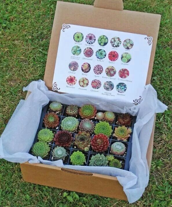 So Lovely Various Succulent Plants for Girls - Perfect office plants