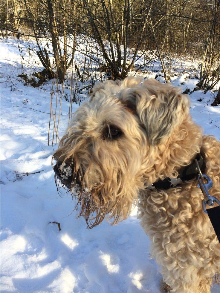 Weathen terrier - Lady