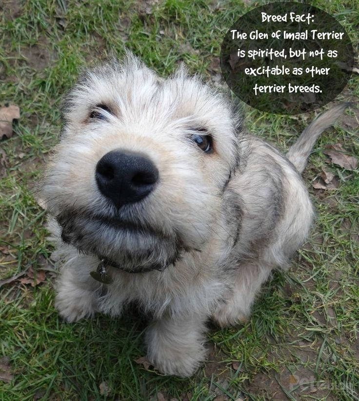 Top o' the mornin'! Meet the Glen of Imaal Terrier, a handsome Irish dog breed.