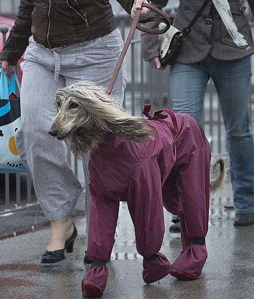 A gorgeous Afghan Hound wearing a waterproof suit arrives with its owner on the first day of the Crufts dog show in Birmingham, England.
