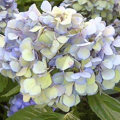 Tips for Growing {Blue} Hydrangeas! I have never managed to maintain a blue hydrangea and I love them. Even Nikko blue went a mottled pink here! We have a thin clay soil over chalk, in fact we are 100 yards from an old chalk quarry, now landscaped. Even my white hydrangeas end up pale pink, my next door neighbour has done it though by planting a rusty iron bar right underneath his plants.....