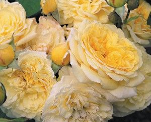 """Symphony, David Austin® English Roses  Beautiful blooms of rich yellow aging to soft yellow with wonderfully perfect rosette form and borne in clusters on a compact, bushy plant that would be perfect for the small garden or grown in pots. Has the same growth habit and size as 'Dove' and 'Tamora'. Pleasant spicy fragrance. Loves the heat.  Petals 60+, Bloom 4"""""""
