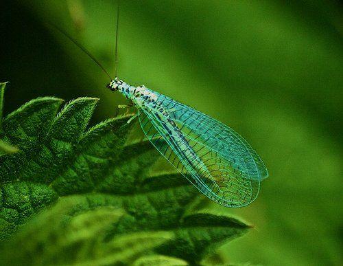 Chrysopa perla, green lacewing (4)