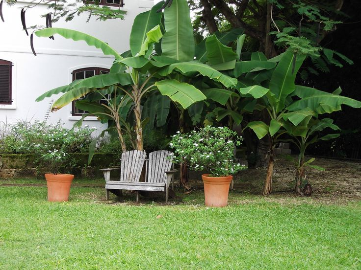 Banana trees in the front yard, sit on the Muskoka chairs and have one every day!
