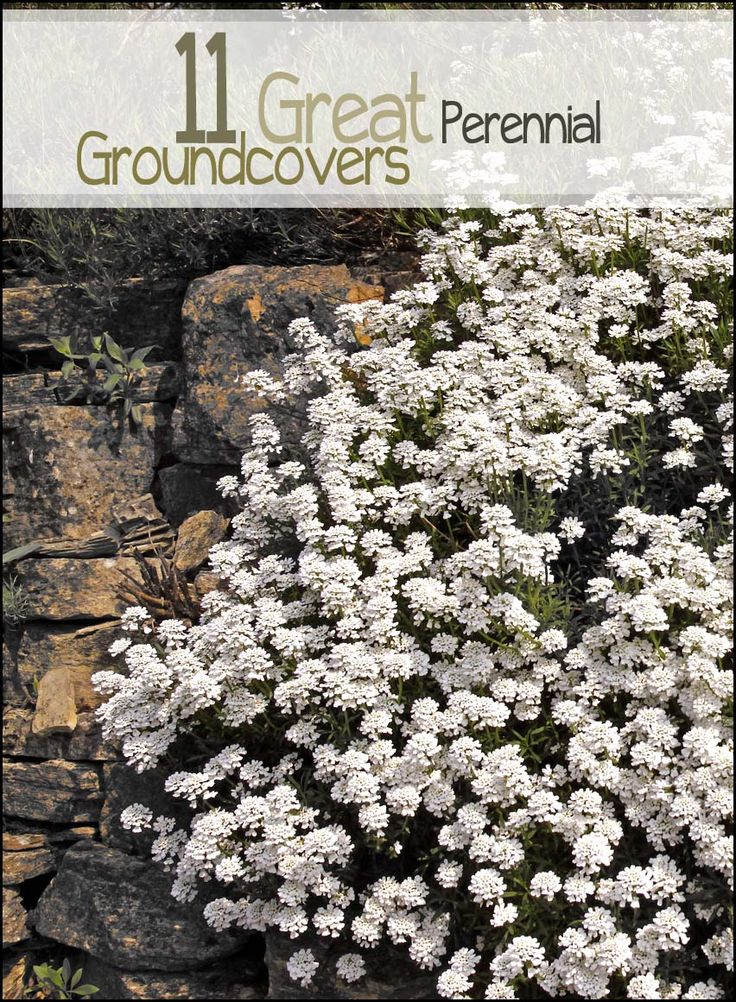 21 best spring into gardening images on pinterest flowers garden looking for some great perennial ground cover check out these great suggestions for amazing ground mightylinksfo