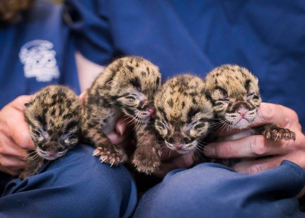 Quadruplet clouded leopard cubs were born at the Point Defiance Zoo and Aquarium in Tacoma, Washington. | Insanely Precious Clouded Leopard Quadruplets Born At Tacoma Zoo - BuzzFeed News