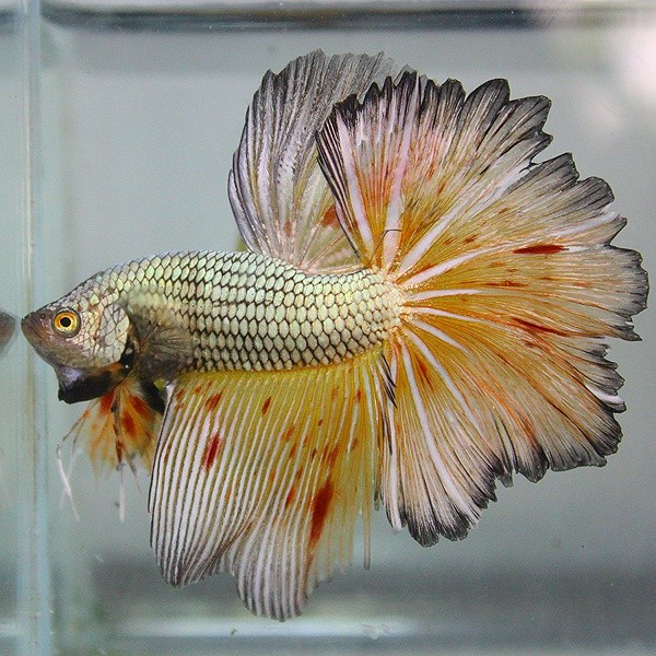 778 best images about betta fish on pinterest betta fish for Buy betta fish