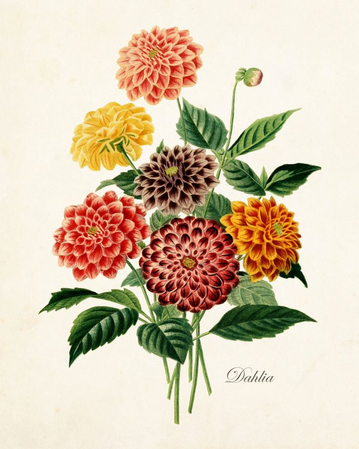 French Dahlia Antique Botanical Art Print