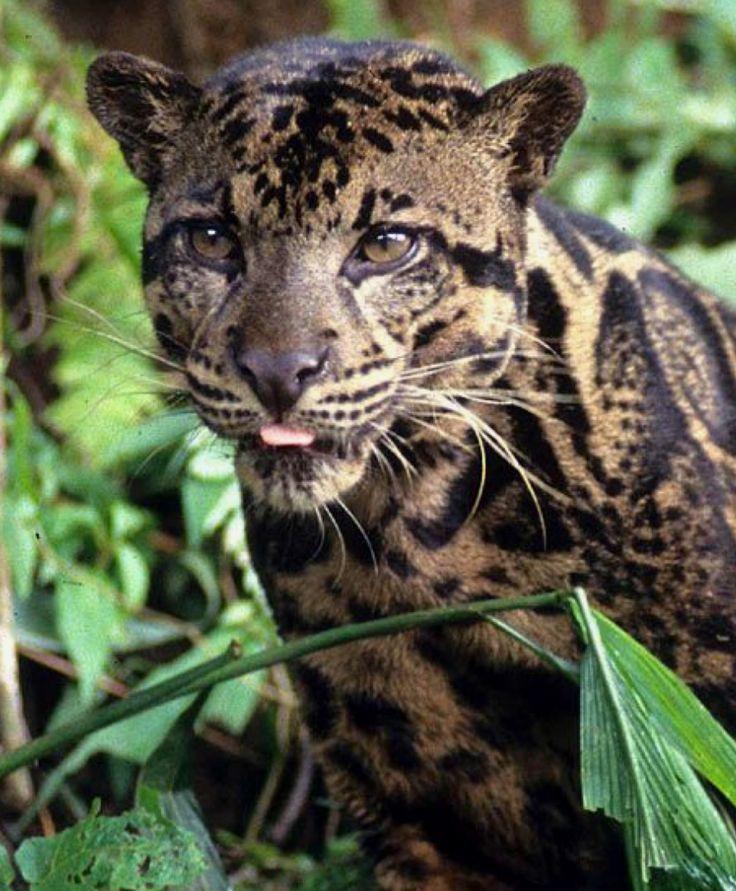 Moderno Leopardo Anatomía Sello Colección - Anatomía de Las ...