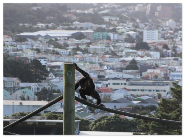 Monkey at Wellington Zoo - Newtown in the background, Wellington, New Zealand