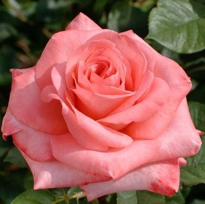 RP: Arthur Rimbaud Meilland - Classic Strong Fragrant Large Bloom Roses