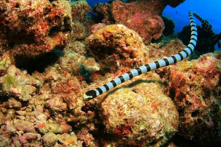Banded sea krait  This species of sea snake is venomous.  This species of sea snake is venomous. (Photo: Rich Carey/Shutterstock)  Beautiful snake species aren't just found in land; they're in the oceans, too. The banded sea krait — also called the colubrine sea krait or yellow-lipped sea krait — is a species found in the Indo-Pacific ocean. Though the banded sea krait is an amphibious species that needs to come to land to drink fresh water.