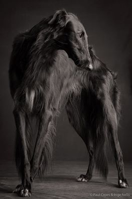 paul croes greyhound. I personally don't like the look of greyhounds but this one is beautiful!