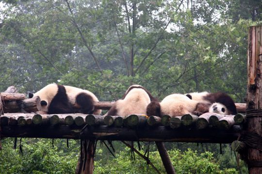 Le Sichuan, principal foyer des pandas, espèce animale extrêmement choyée et symbolique en Chine. Les sanctuaires du grand panda du Sichuan sont le foyer de plus de 30 % des pandas géants. couvrant une superficie de 9 245 km², regroupent 7 réserves naturelles et 9 parcs paysagers.