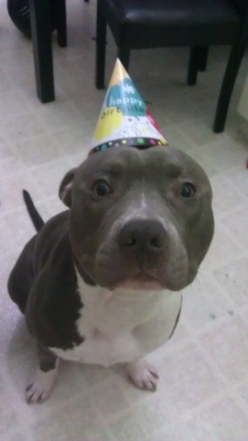 Happy Birthday Pitbull Dog Images