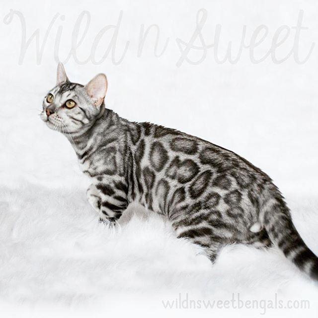 Incredible silver bengal cat!! More photos of our cats and kittens at www.wildnsweetbengals.com