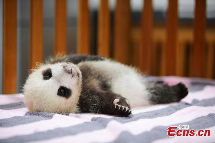 Two-month-old giant panda named 'Peanut' in Shanghai (1/4)