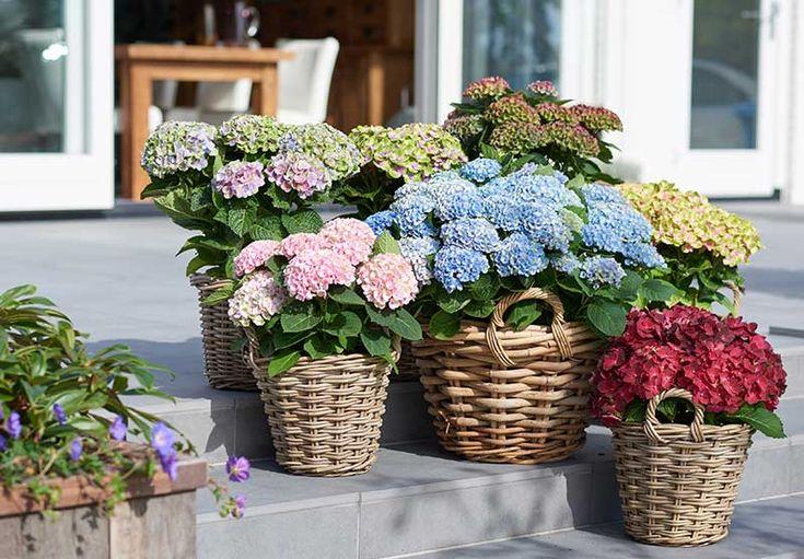 Med Magical-hortensior får man mängder av färglada blommor som skiftar i färg under en lång säsong.