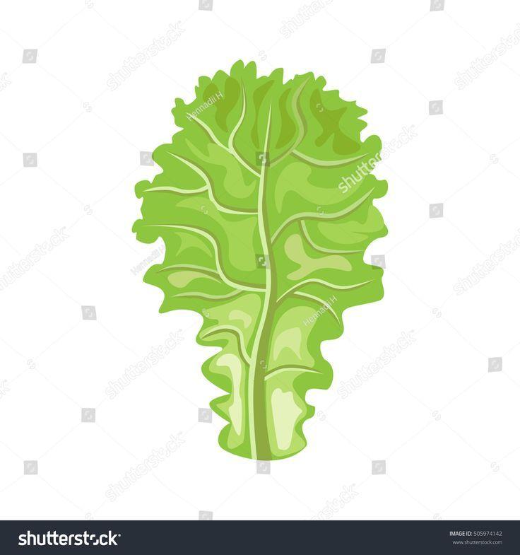 leaf of lettuce. vector illustration | vector illustration, leaves  illustration, leaves  pinterest