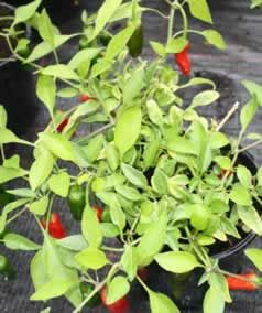 All about Chilli plants, best varieties for the UK and chilli plant care