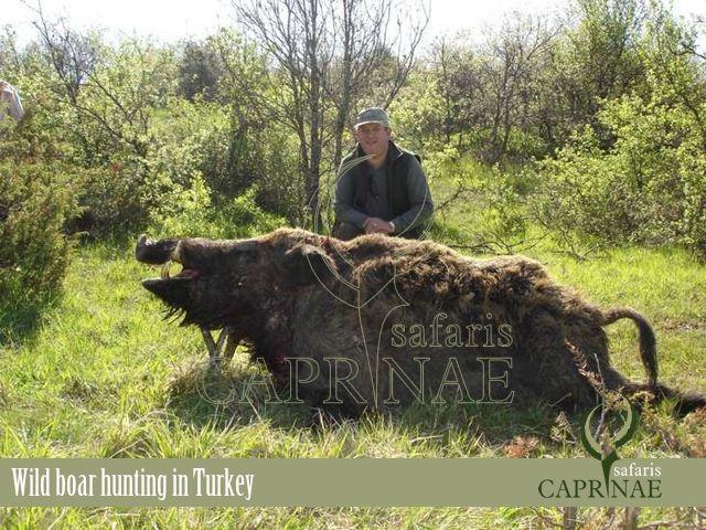 Wild boar hunting in Turkey