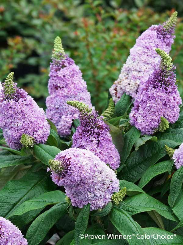 Photo Of Buddleia Pugster Amethyst Flower 3 Purple Flowering