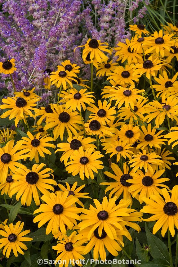 rudbeckia hirta black eye susan yellow perennial flower in garden