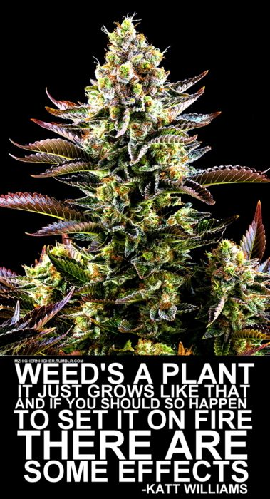 Weed's a plant it just grows like that and if you should so happen to set it on fire THERE ARE some EFFECTS -KATT WILLIAMS