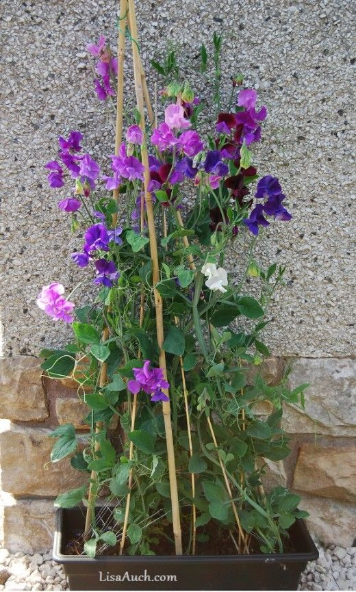 Beginners Guide to growing Easy Scented flowers for your garden from seeds l. Step by Step photos and Tips to help you create a beautiful scented display with Sweet Peas. Perfect Container Gardening