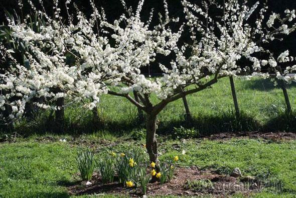Грамотно проведенная обрезка плодовых деревьев с целью формирования формы кроны, гарантирует получение высоких урожаев в будущем. Проводить обрезку во фруктовых садах можно весной и осенью. Правила об...