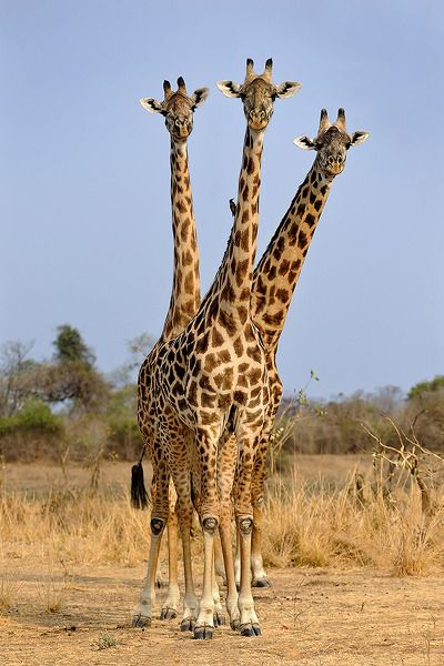"""Giraffe: """"NO!  You are NOT seeing triple-necked!  There are three of us here!"""""""