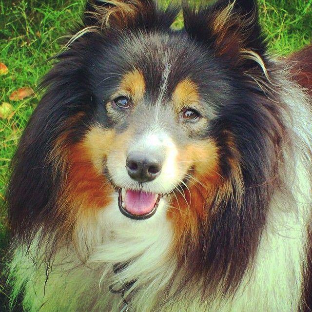 Super flot colli : indsendt af Jane, tak til dig Jane :) #colli #cute #cool #charmetrold #natur #dog #dogs #dansk #danish #danmark #denmark #hair #hår #pæls #hund #happy #hunde #glad #gadehund #smuk