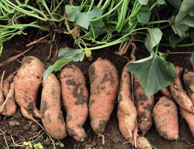 Sweet potato- batata