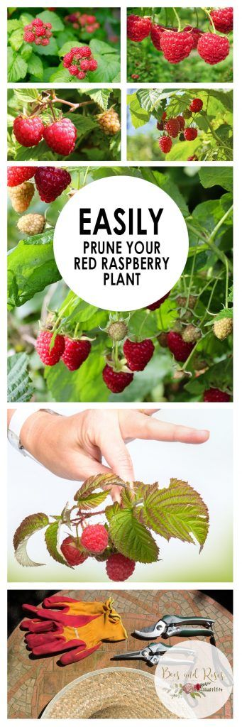 Easily Prune Your Red Raspberry Plant| How to Prune Your Red Raspberry Plant, Purning Red Raspberry Plants, How to Prune Raspberry Plants, Easy Ways to Prune Raspberry Plants, Fruit Gardening, How to Grow Fruit, Popular Pin