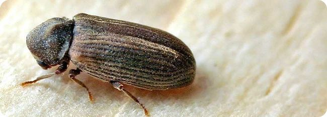 What actually is #woodworm? fully detailed information on the pesky home invader can be found on the #propertyexperts website #property #woodworm #DIY #homeimprovement #identifywoodworm #timber #wood #beetles #larvae #woodwormsolutions http://www.wisepropertycare.com/woodworm/what-is-woodworm/