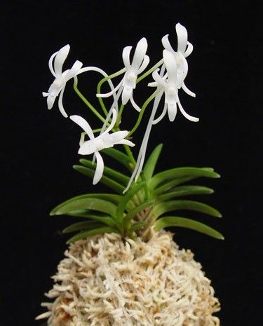Neofinetia falcata - orchid plant. Japanese, relatively easy care, very miniature