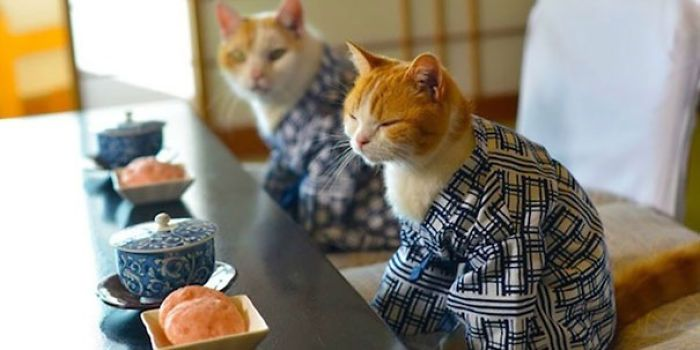 Kimono Cat: