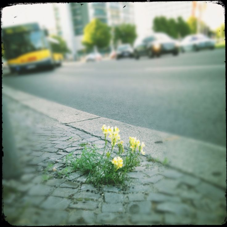Die Natur in ihrem Lauf, halten weder Ochs noch Esel auf. #Berlin #Löwenzahn