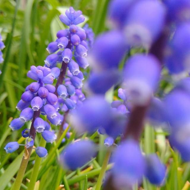 #grapehyacinth #flower #blue #springtime #VancouverBC #Blackberryphoto  Lucky me I get to see these tiny lovelies in my garden every year! :)