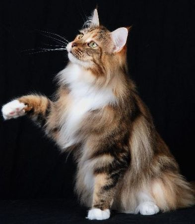 Maine Coon Cats - WhatATrill Maine Coons of Northern California - WhatATrill Maine Coon Retirees