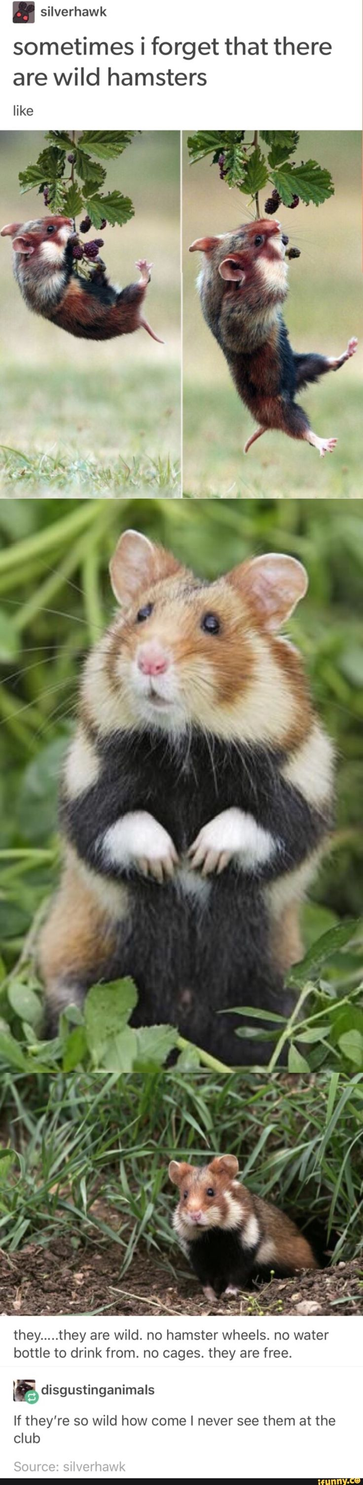 WILD HAMSTERS EVERYONE LOOK AT THIS IT'S NOT A SOCIAL ISSUE BUT LOOK