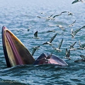 "Bryde's whales (play /ˈbruːdə/ BREW-də) are baleen whales, the ""great whales"" or rorquals."