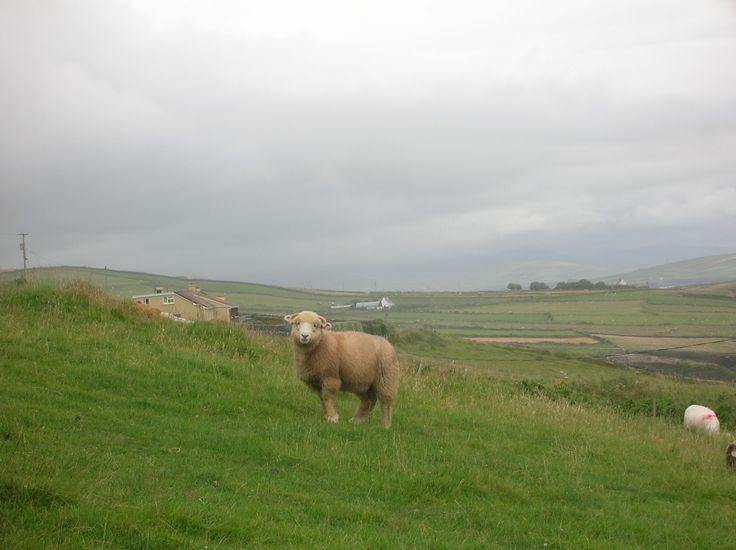 le pecore irlandesi sono piu' belle
