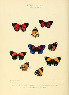As três borboletas acima e as quatro borboletas mais abaixo, nesta gravura do ano de 1855, são espécies do gênero Paulogramma (P. pyracmon e P. eunomia). Ao centro e à direita desta, Callicore astarte (subespécie patelina).[1]