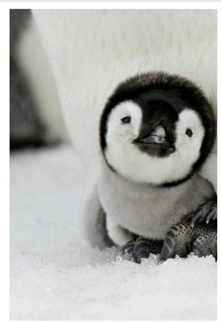 Baby penguin..    I love them so much