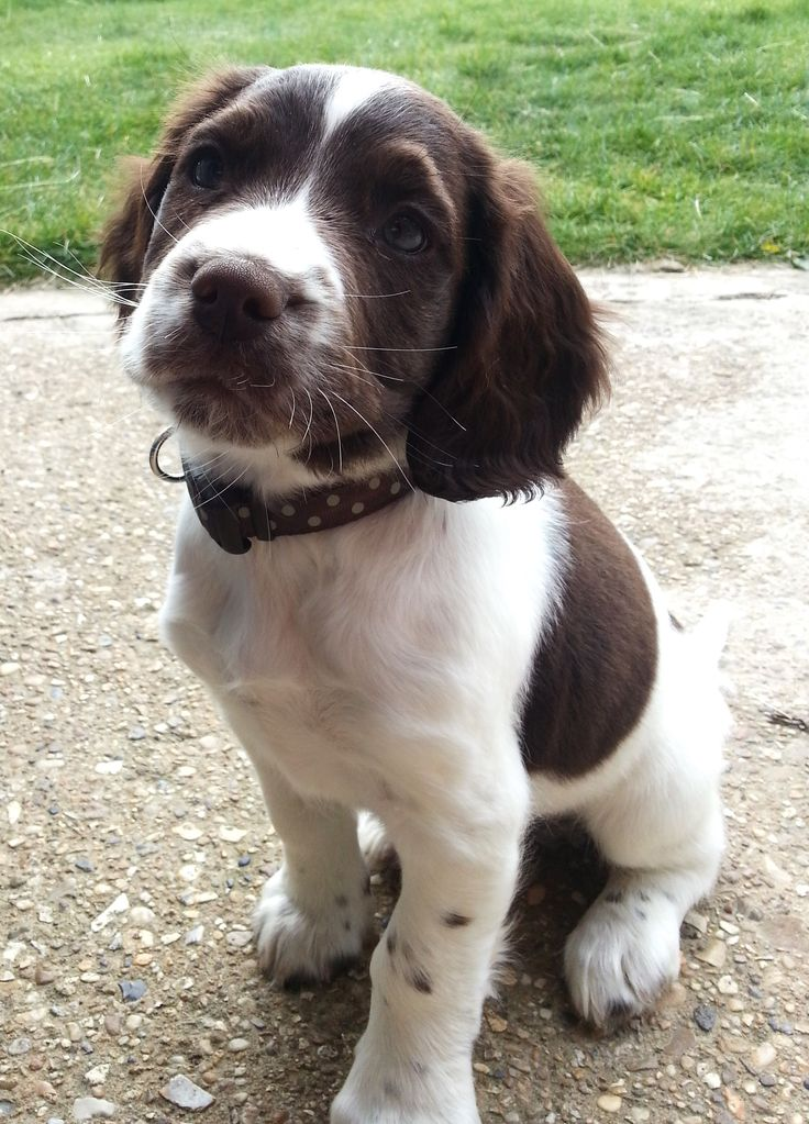 My sprocker puppy Chester at 8 weeks old